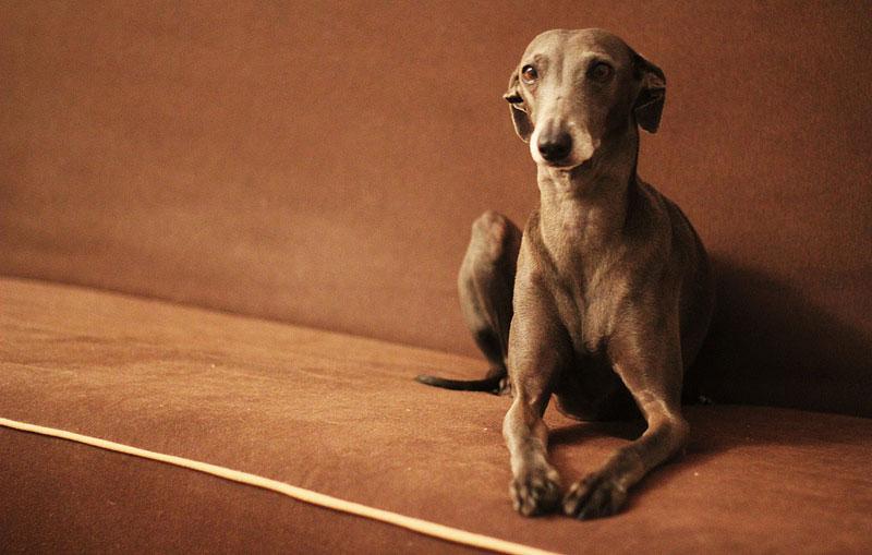 Guía de perros de raza: el galgo español