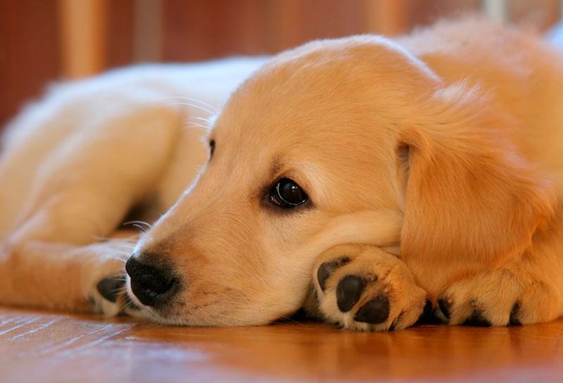 guia-de-razas-de-perros-golden-retriever