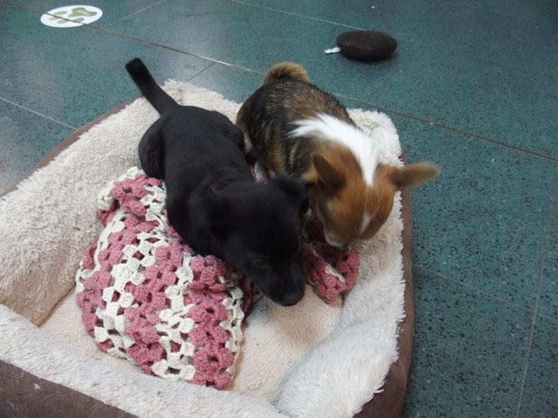 Yang, perrito en adopción, macho, negro, mestizo, mediano