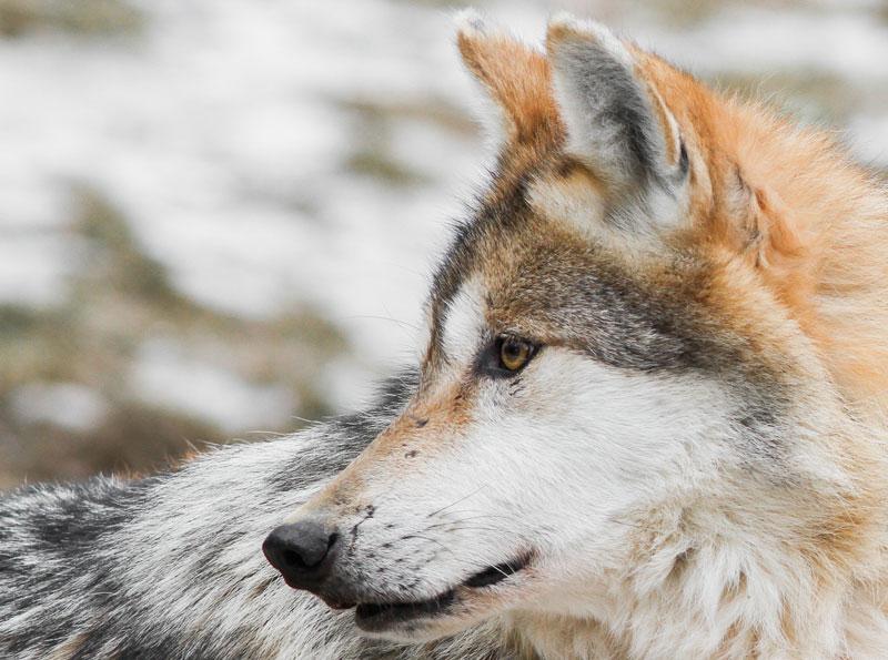 El origen del perro actual. Evolución desde el lobo