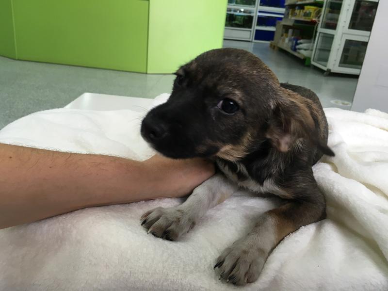 Perro hembra mestizo de Jack Russell Terrier en adopción