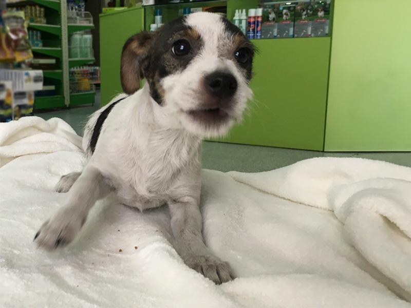 perro-mestizo-macho-jack-russell-adopcion