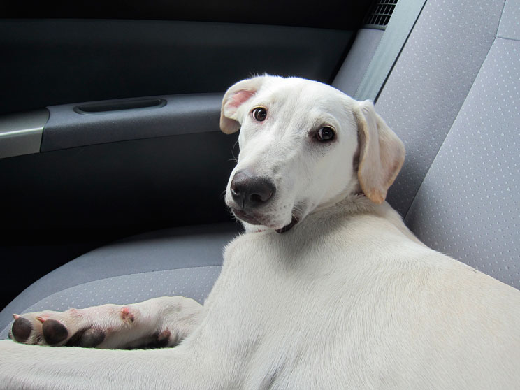 Cómo viajar en coche con perro: recomendaciones de la DGT