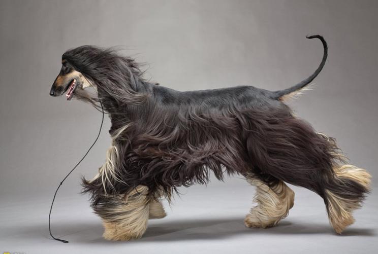 Guia completa de las razas de perros: lebrel afgano