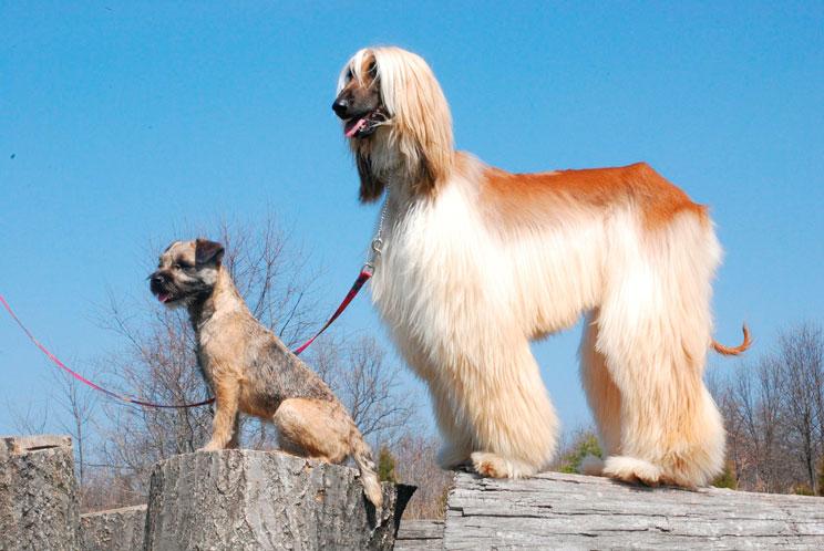 guia-completa-de-las-razas-de-perros-lebrel-afgano-3