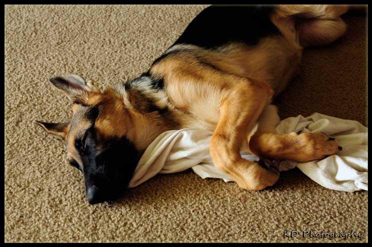 por-que-mi-perro-me-roba-la-ropa-aprende-como-solucionarlo-3
