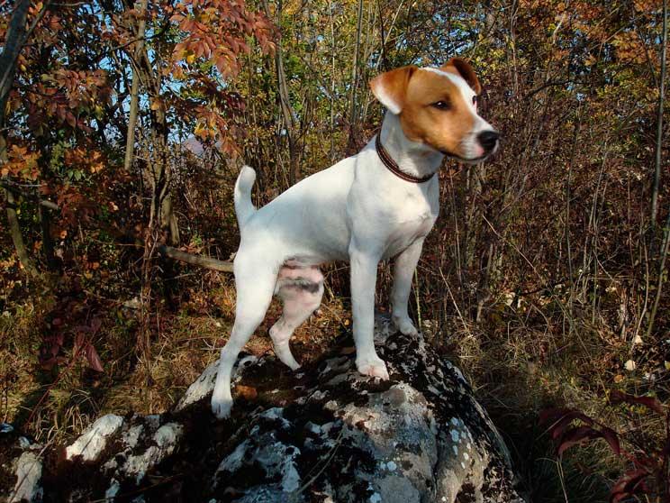Guía completa de las razas de perros: Jack Russel Terrier
