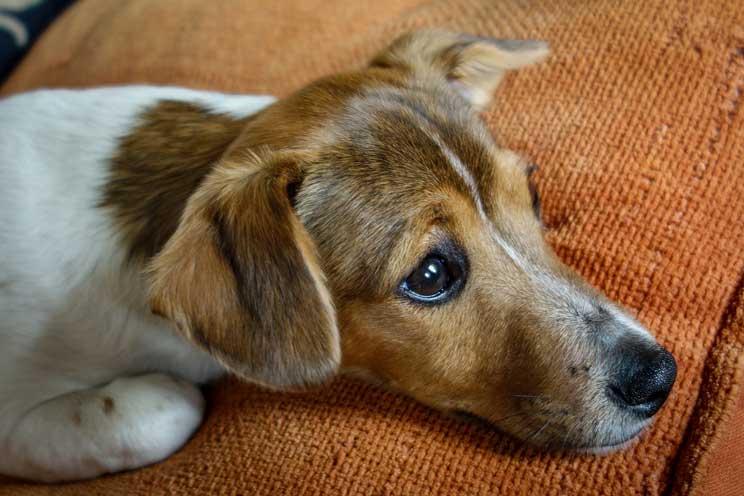 guia-completa-de-las-razas-de-perros-jack-russell-terrier-5