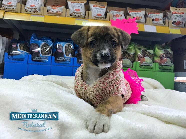 Perros en adopción:princesa busca castillo antes de Navidad