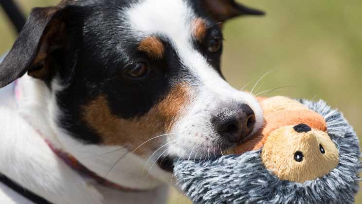 Embarazo-psicologico-en-perros-que-es-y-que-riesgo-supone-4