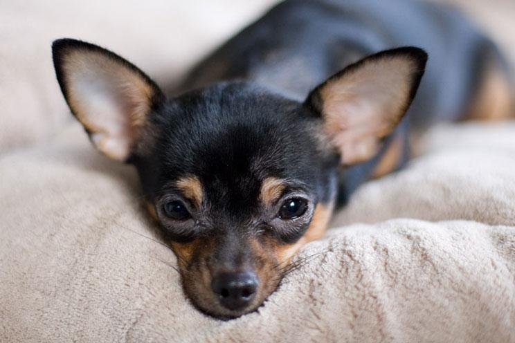 Guia-completa-de-las-razas-de-perros-chihuahua-4
