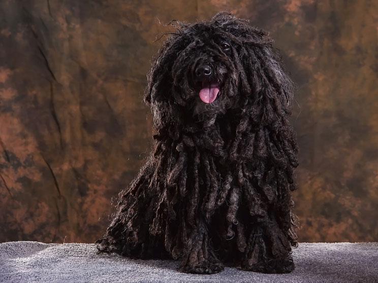 Guía completa de las razas de perros: Puli, el perro rasta