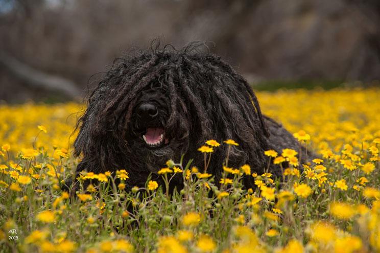 Guia-completa-de-las-razas-de-perros-puli-el-perro-rasta-2