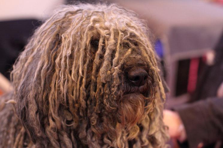 Guia-completa-de-las-razas-de-perros-puli-el-perro-rasta-3