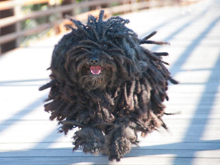 Guia-completa-de-las-razas-de-perros-puli-el-perro-rasta-4