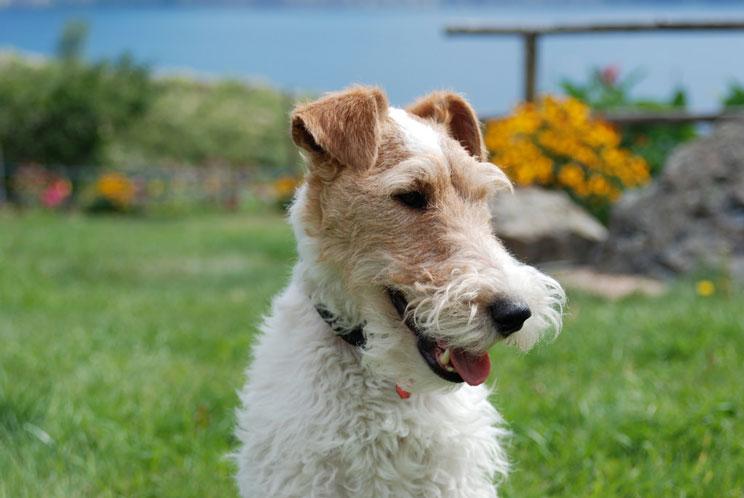 Guía completa de las razas de perros: Fox terrier