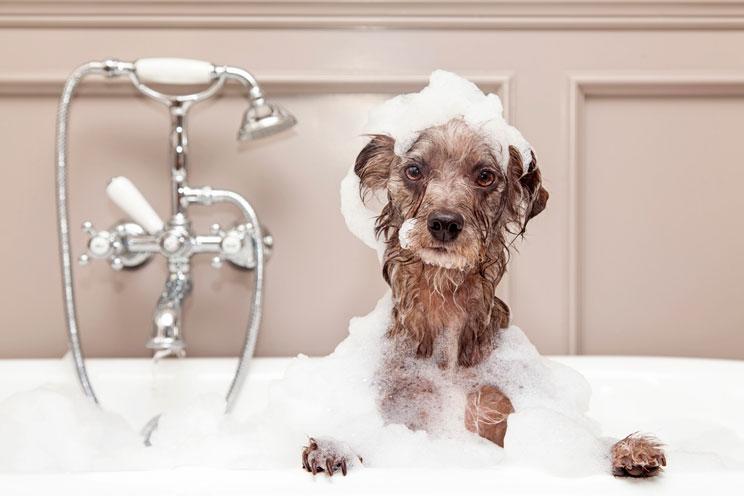 Bañar a un perro en casa: Cómo debe hacerse
