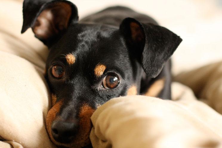 Guia-completa-de-las-razas-de-perros-Pinscher-1