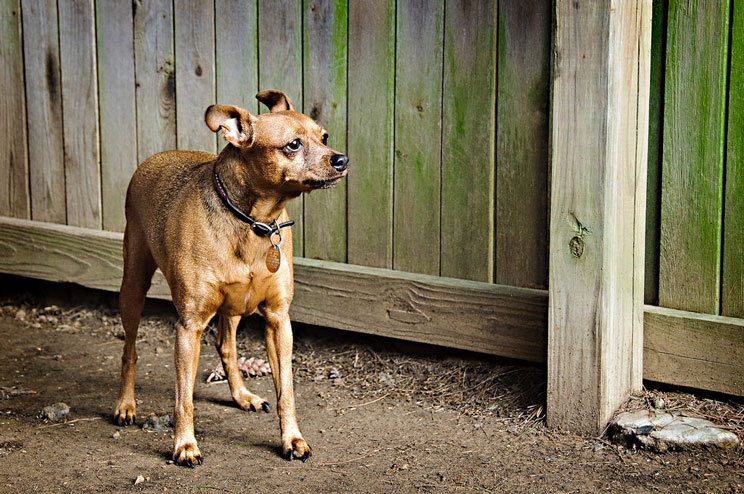 Guia-completa-de-las-razas-de-perros-Pinscher-2