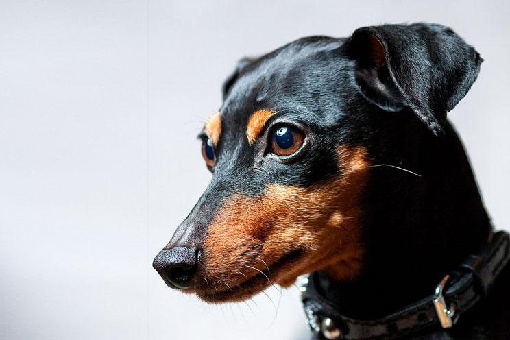 Guía completa de las razas de perros: Pinscher