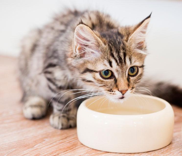 La importancia de una buena hidratación para nuestros gatos