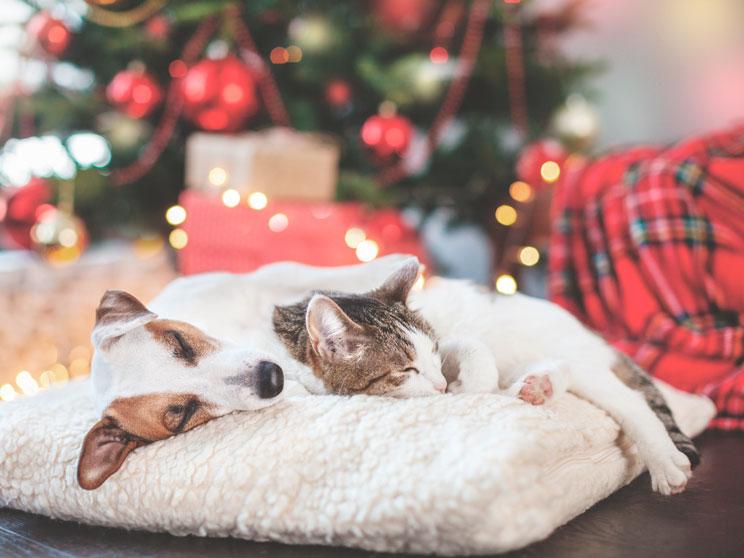 3 plantas de Navidad peligrosas para perros y gatos