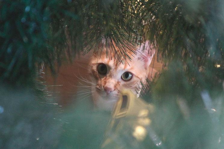 ¡Evita el peligro! Disfruta de una Navidad sin sustos junto a tu gato