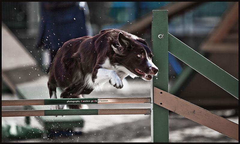 Adiestramiento canino, educación canina y agility: pautas, ejercicios, consejos y orientaciones.