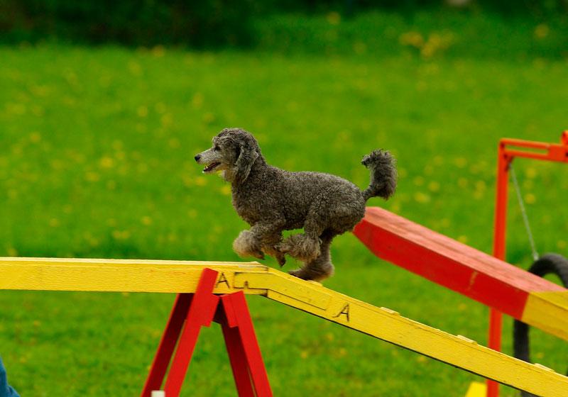 Agility: hacer deporte con perro