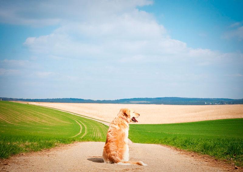 Guía de las razas de perros: golden retriever
