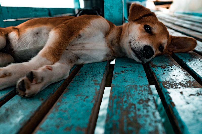 ¿Tener un perro de raza o mestizo?