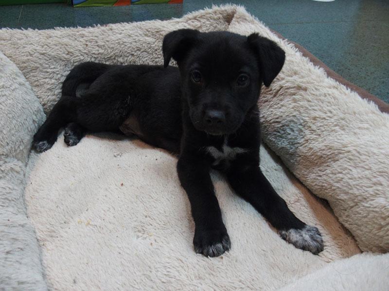 Yang, cachorro mestizo macho de tamaño mediano en adopción