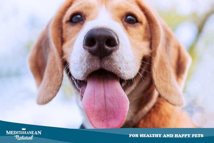 Nariz seca y agrietada en perros: qué significa y cómo tratarlo