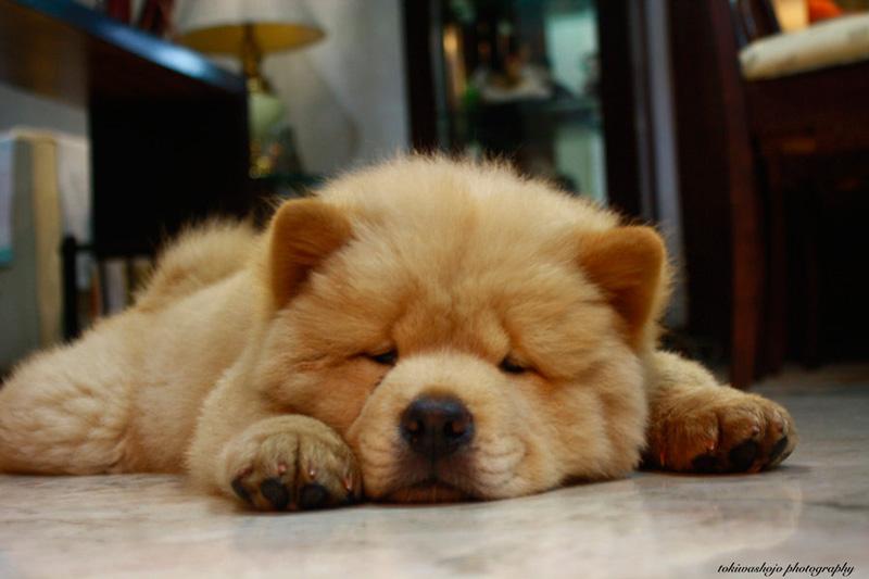 Guia de las razas de perros: Chow chow