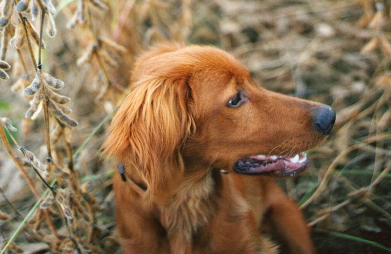 perro-espiga-peligros-infeccion