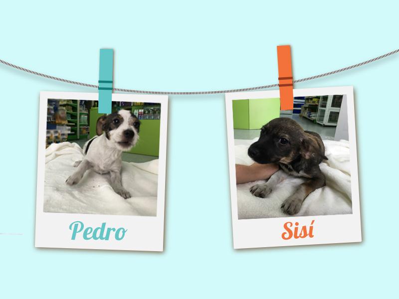 Perros mestizos de Jack Russell Terrier en adopción
