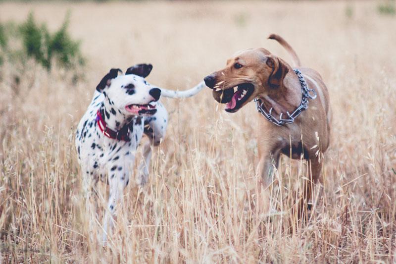 El peligro de las espigas para los perros