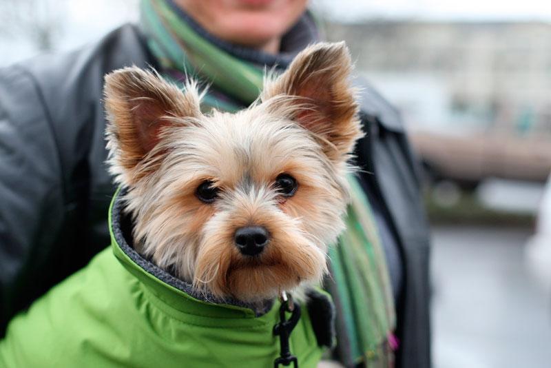 Razas de perros: Yorkshire terrier