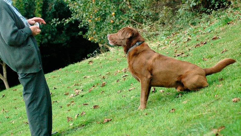 Como empezar el adiestramiento de un perro