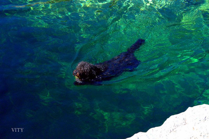 Guía de las razas de perros: perro de agua español