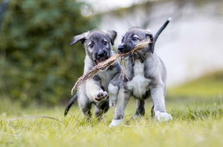Cullen y Romulus: los primeros perros gemelos del mundo