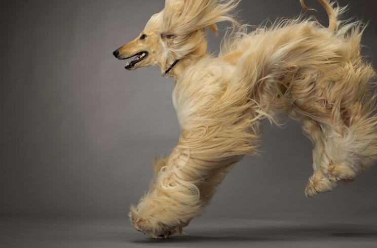 guia-completa-de-las-razas-de-perros-lebrel-afgano-4