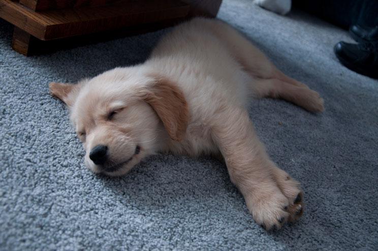 Qué hacer la primera noche de mi cachorro en casa