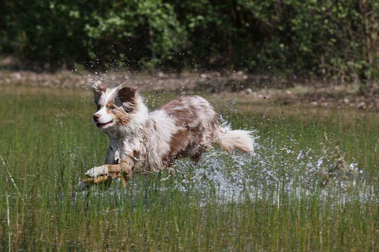 Guía completa de las razas de perros: border collie