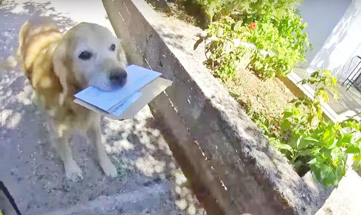Floki: el golden retriever que cada día recoge su correo