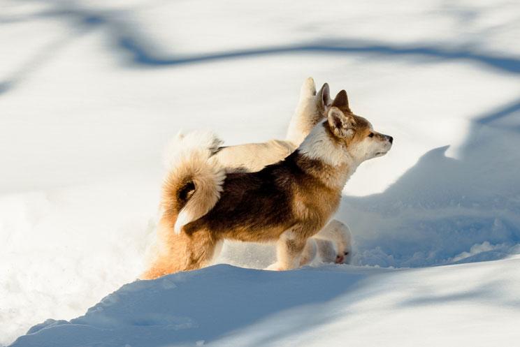 Guía completa de las razas de perros: Akita