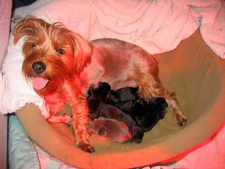 Embarazo psicológico en perros: qué es y qué riesgo supone