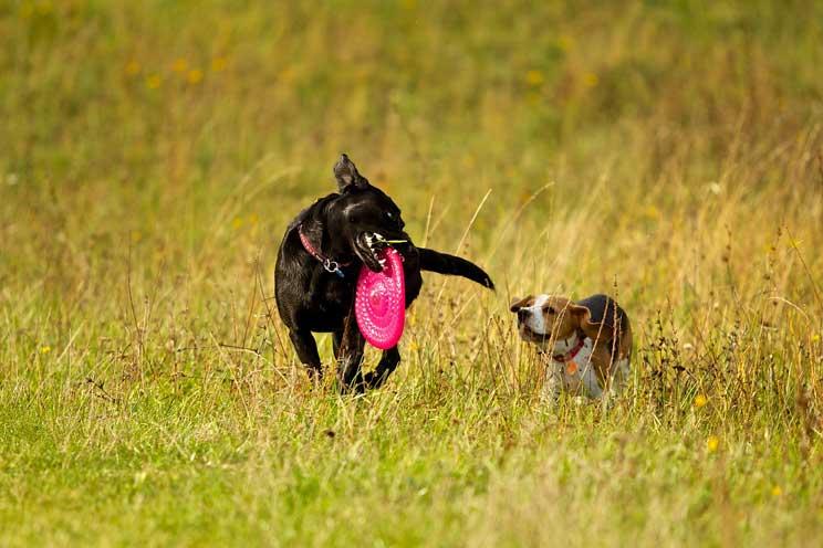 Embarazo-psicologico-en-perros-que-es-y-que-riesgo-supone-5