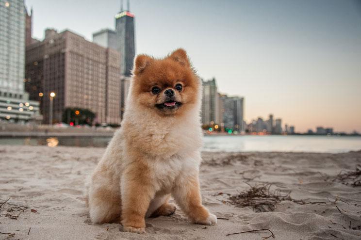 Guía completa de las razas de perros: Pomerania
