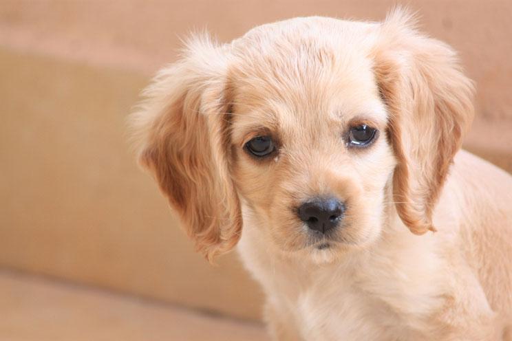 ¿Por qué llora mi cachorro? ¿Qué puedo hacer?